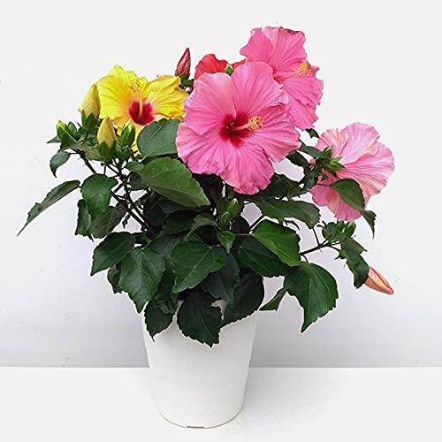 ハイビスカス(ロングライフ): 3色ミックス植え 7号鉢植え[花持ちが良い!夜も花が楽しめる][鉢花]