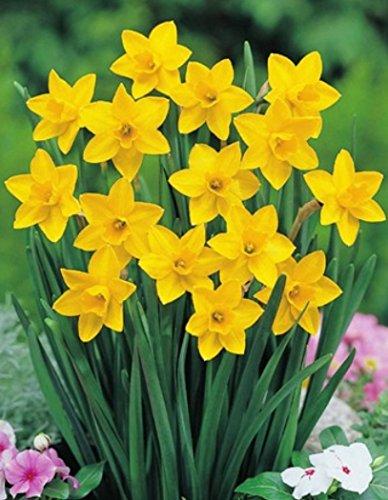 100 Narzissen Sweetness Blumenzwiebeln Narcissus