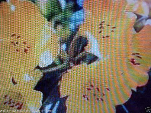 AGROBITS Georgous en Jaune Fleur de Lin 250 graines Acheter-1-Get-1-Free USA Expédié Article