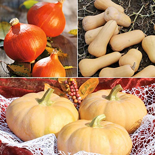 tomgarten Volmary Saatgut Kürbis-Set Butternut Muskat Hokkaido Pflanzen Garten Herbstliche Kürbiszeit