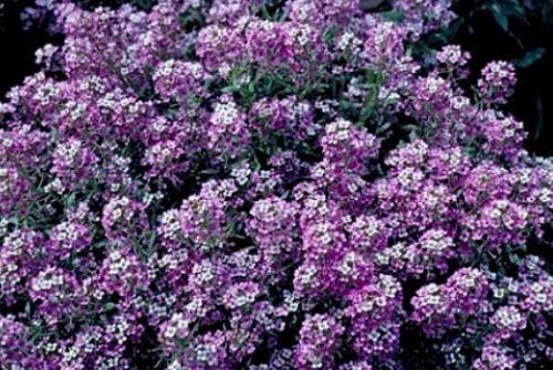 Alyssum Seeds, tapis Royal, Graines de couverture au sol, Heirloom Graines de fleurs, 75ct