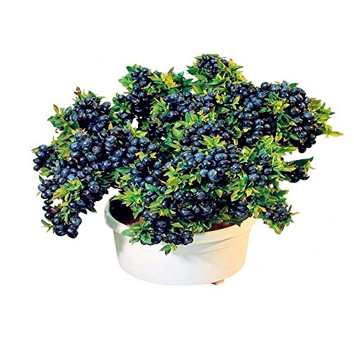 Bornbayb Blueberry Seeds Bonsai Fruit Seed pour la plantation d'intérieur en plein air, 100Pcs / Set