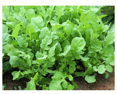 Salatrucola - Klassische Rucola - Salat - 1000 Samen