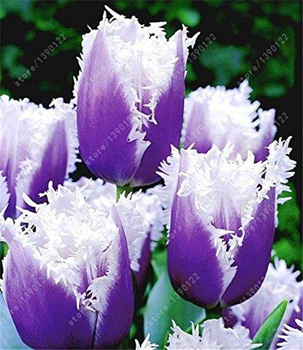 bulbi di tulipano Vero, tulipano, (non tulipano semi), bulbi da fiore simboleggia l'amore, impianto tulipanes fiore per le piante da giardino -2 lampadine 1