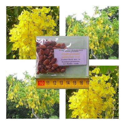 Cassia fistula - Goldregen Baum - 50 Samen - leuchtend gelbe Blüten