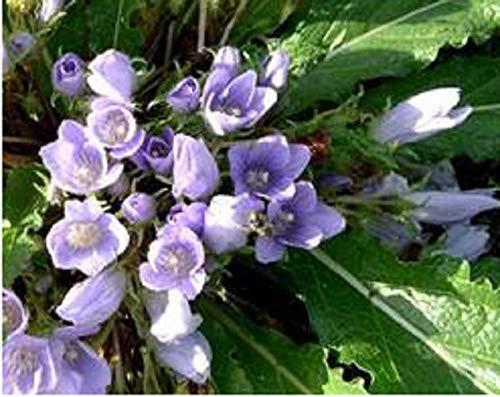 HONIC Mandragora autumnalis Pflanze Magic 100 Samen Samen