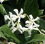 Star Jasmine Vine Plant - Confederate Jasmine - Trachelospermum Jasminoides - Highly Fragrant