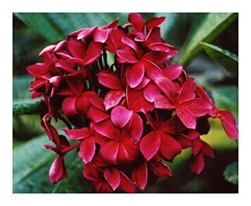 Plumeria Red Flower - Frangipani - Wachsblume Red Flower - 3 Samen