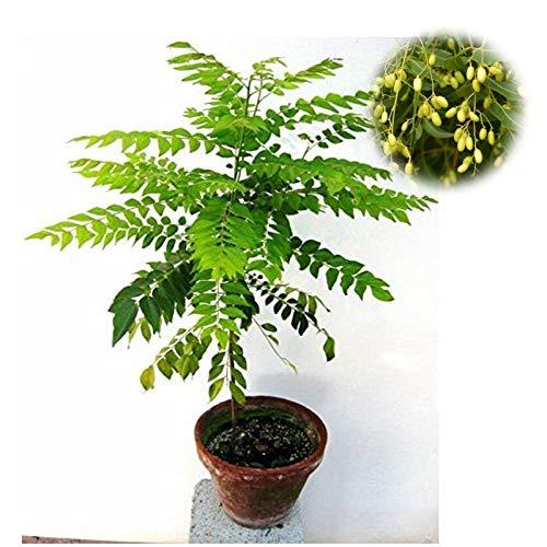 HONIC T 20Pcs Neem-Baum-Grünpflanzen Bonsai Rare Indica Anlage für Hausgarten wächst schnell Herb Paternoster: 20