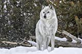 Weisser Wolf Schnee Wald Tier XXL Wandbild Foto Poster