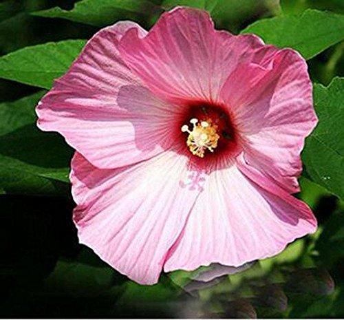 100 Hibiscus géant Graines de fleurs bricolage jardin en pot ou graines de fleurs cour graines de plantes faciles à cultiver des graines de jardin à la maison jaune