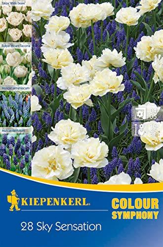 Narzissen & Traubenhyazinthen Colour Symphony Sky Sensation, 28 Stück Blumenzwiebeln