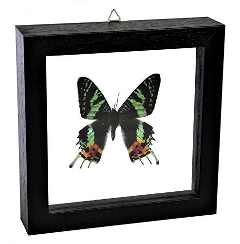 Cuadro de Mariposa Auténtica Enmarcada 16x16 Decoración para el hogar Uranis...