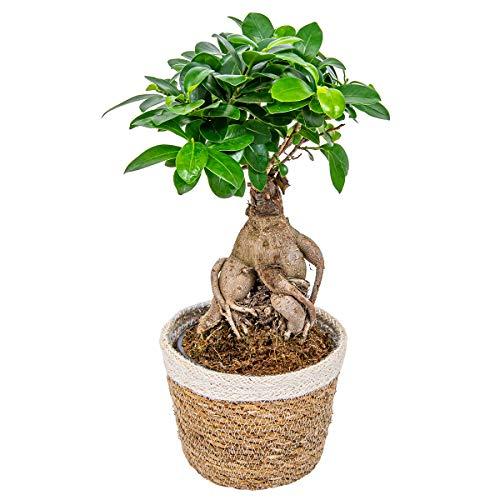 Bonsai Baum | Ficus 'Ginseng' pro Stück mit dekorativem Korb - Zimmerpflanze cm12 cm - 30 cm