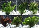 10 Plantas acuáticas Oxigenantes para acuario agua dulce. Cabomba, Elodea,...