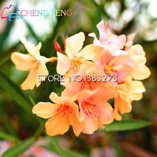 Pinkdose® Promtions 50 Stück Nerium Bonsai-Blumensamen Oleander Samen, einfache Anzucht-Topf, japanische Bonsai Balkon Garten Dekoration B