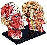LBYLYH Anatomia Umana Mezza Testa Faccia Anatomia Testa Cranio Arteria cerebrale Modello anatomicoApplica a Modelli Medici e Materiali didattici