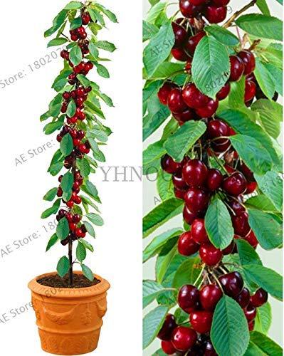 AGROBITS Nueva llegada! 20 cerezo del árbol Bonsai Australia cerezo negro Plantas Plantas raras de árboles frutales para plantar jardín de su casa, R4MZFX