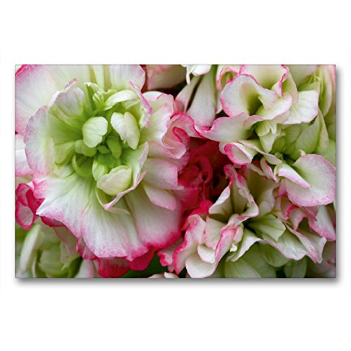 Premium Textil-Leinwand 90 x 60 cm Quer-Format Pelargonie Rosebud Appleblossom | Wandbild, HD-Bild auf Keilrahmen, Fertigbild auf hochwertigem Vlies, Leinwanddruck von Martina Cross
