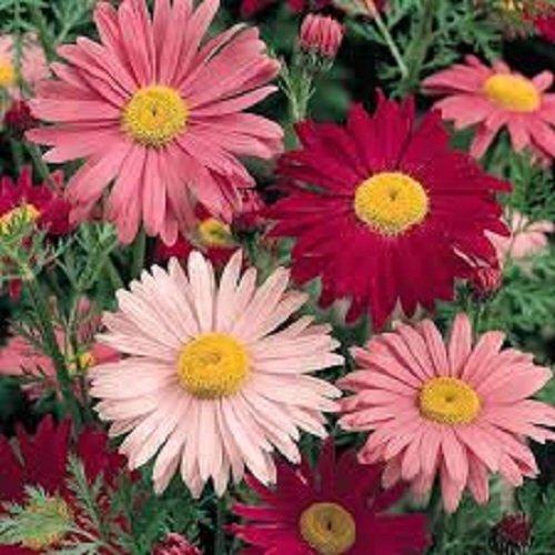 50+ Robinson Mix de fleur de chrysanthème Graines/vivace