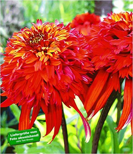 BALDUR-Garten Duft-Echinacea 'Hot Papaya' Sonnenhut, 1 Pflanze winterhart