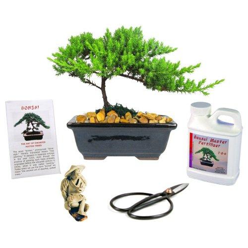 Japanese Juniper Bonsai Tree Gift Kit