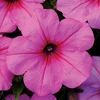 Park Seed Easy Wave Pink Passion Hybrid Petunia Seeds