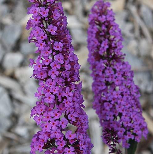 Buddleja davidii Border Beauty 25-30 cm Schmetterlingsflieder Sommerflieder - Fliederspeer