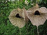 40: Seme 40+ Aristolochia grandiflora Pelican fiori freschi Pseudo Fiore! La restituzione della merce non è disponibile Vendiamo solo semi Spediamo a livello internazionale