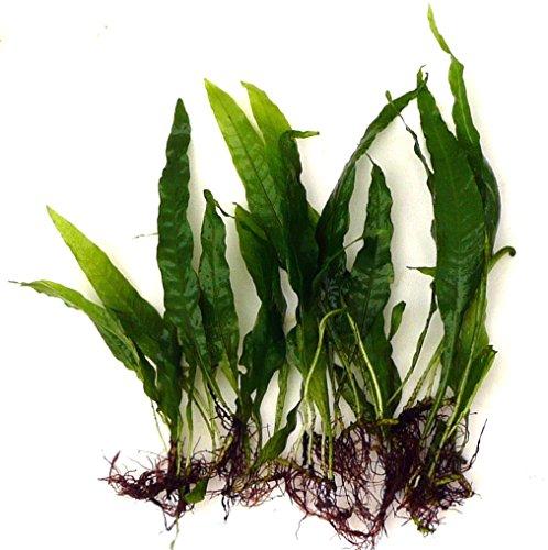 Felci di Giava (Microsorum pteropus), vere piante per acquario, confezione da 10 pezzi