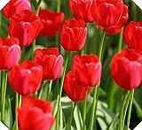 Tulipanes bulbos-Bulbos De TulipáN Verdaderos, Flor Del TulipáN, (No TulipáN Semillas), Bulbos De Flores Simboliza El Amor, La Planta De La Flor Tulipanes De Plantas De JardíN-rojo,50bulbos
