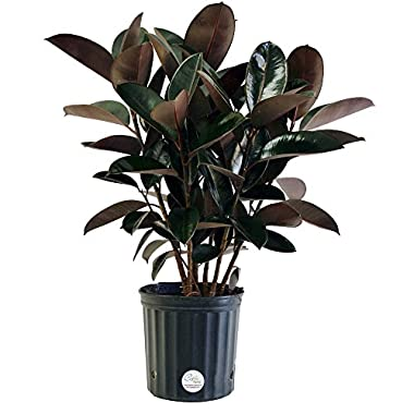 Costa Farms, Premium Live Indoor Burgundy Rubber Plant, Ficus elastica, Floor Plant, Grower Pot, Shipped Fresh From Our Farm, Excellent Gift
