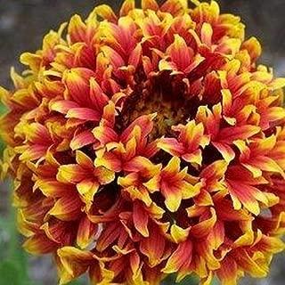 Cutdek Gaillardia Sundance Bicolor Flower Seeds (Gaillardia Pulchella) 200+Seeds