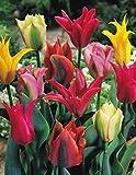 Viridiflora Tulpen gemischt Blumenzwiebeln Tulpenzwiebeln (100 Blumenzwiebeln)