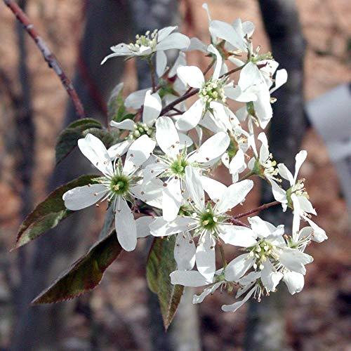 Rainbow Pillar Serviceberry Tree - Amelanchier...