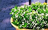 White Jasmine Seeds 30 Pcs Gardenia Cape Jasmine Jasminiodes White Aromatic Flower Floral Seeds