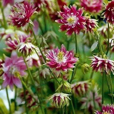 Columbine Nora Barlow Blumensamen (Aquilegia vulgaris Nora Barlow) 100 + Seeds