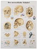 3B Scientific VR3131UU Glossy Paper El Craneo Humano Anatomical Chart (Human Skull Anatomical Chart, Spanish), Poster Size 20' Width x 26' Height