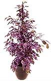ficus benjamin viola, pianta vera!!!
