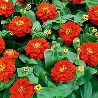 Park Seed Magellan Scarlet Zinnia Seeds