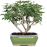 "Brussel's Bonsai Live Hawaiian Umbrella Indoor Bonsai Tree-3 Years Old 7"" to 10"" Tall with Decorative Container,"