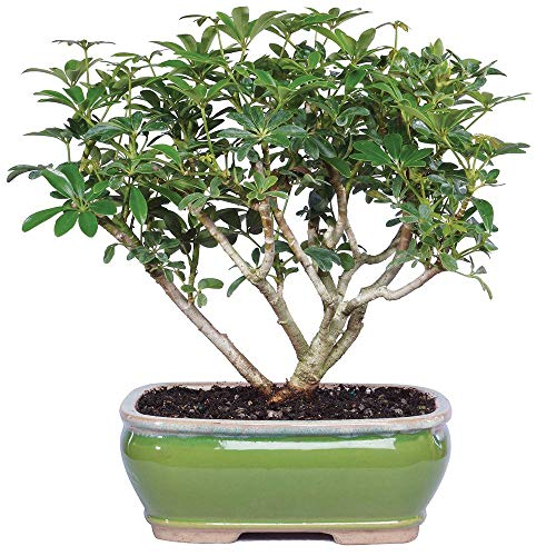 Brussel's Bonsai Live Hawaiian Umbrella Indoor Bonsai Tree-3 Years Old 7' to 10' Tall with Decorative Container,