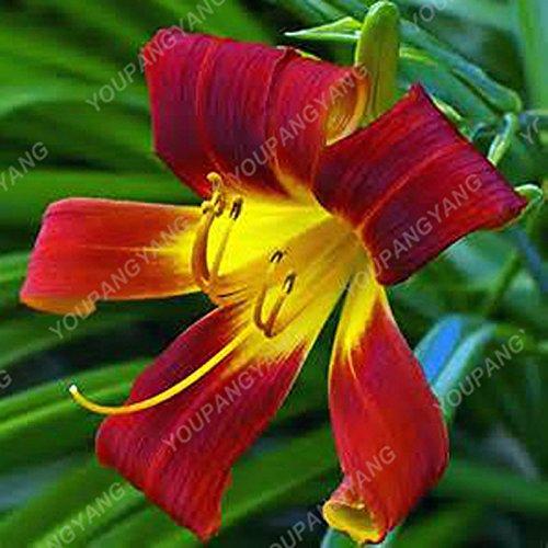 100/sac blanc péruvien Lily Graines Lily Mix Pérou (Alstroemeria) Graines de fleurs vivaces pure Bonsai les plantes pour jardin Ciel bleu