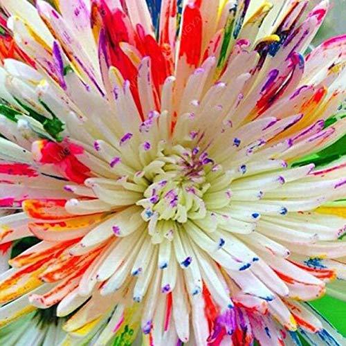 TENGGO Egrow 100PCS/Pack Raro Acuarela Crisantemo Semillas Precioso Arco Iris Acuarela Crisantemo Natural DIY Jardín Flor