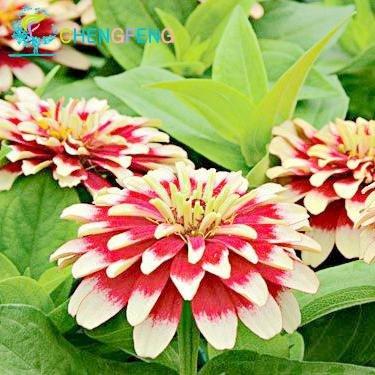 Mélanger Seeds Couleur Petit Zinnia fleurs Environ 100pcs Graines Bonsai Pot Diy jardin Fleur, Growing facile
