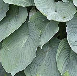 Wheaton Blue hosta Seeds! Comb. s/h! Many hosta Seeds in Our Store!