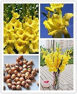 Pinkdose Amarillas Bulbos del gladiolo (Gladiolus Bonsai), 95% de germinación, DIY aeróbico de tiesto, raras gladiolo bombillas de 2 bombillas