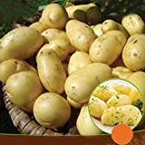 10 x Seed Potatoes Charlotte- Enjoy Delicious Salads - Great to Grow in Your Beautiful Garden - RHS Award of Garden Merit