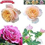 母の日ギフト 蕾・花付きバラ苗 選べる-Rose for You-「ローズワルツ」 「マンマミーア」「フレアー」「インパクト」バラ 花鉢/5月6日~10日の間にお届け/母の日の贈り物2020 (ローズワルツ)