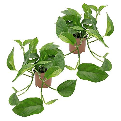 Efeutute, Epipremnum aureum, 2 Pflanzen, 10-12 cm Topf, 20-30 cm lange Triebe